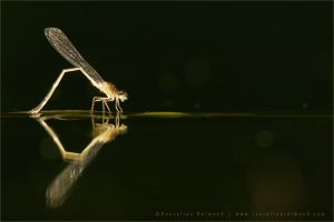Damselfly Reflection by thrumyeye