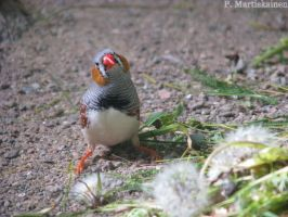 Zebra Finch by WhitePhoenix7
