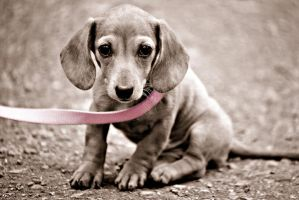 Pink Leash by dcode12