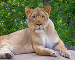 The Lion of Judah by CRGPhotography