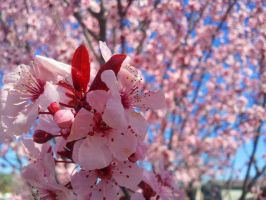 Cherry Blossoms by NicSaysMoo