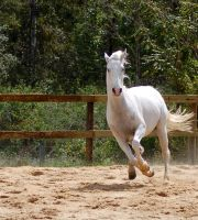 Arab do not want gallop pose by Chunga-Stock