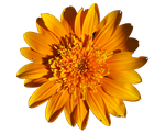 Orangey Yellow flower by LadyoftheApocalypse
