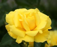 yellow garden rose july by Nexu4