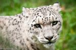 Snow Leopard IV by amrodel