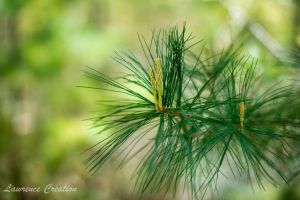 Pine Tree Love by LawrenceCreation