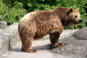 Brown bear 2 by Palmix