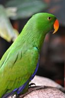 Eclectus Parrot by angela-swift