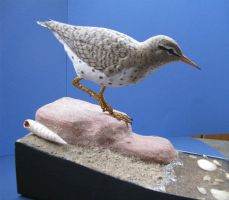 Spotted Sandpiper by Bagheera3