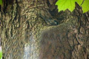 Chickadee In the Tree, Checking Out the Nook by Miss-Tbones