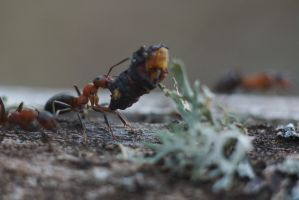 Weightlifting ant by perost
