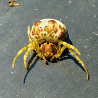 Paralyzed Crab Spider by stormymay888
