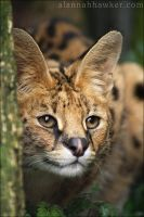 Serval 07 by Alannah-Hawker