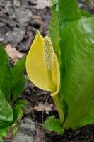 DSC 0247 American Skunk Cabbage by wintersmagicstock