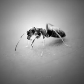 The Ant by DREAMCA7CHER