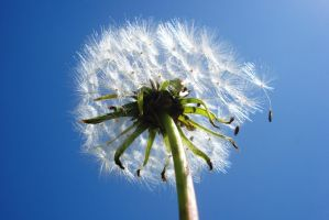 Dandelion 2 by Polin-Sam