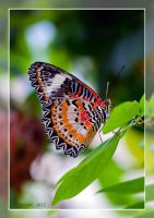 Malay Lacewing Butterfly by RoyallyCrimson