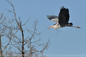 Grey Heron (001) by Sikaris