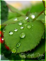 Water Drops on Rose Leaf by Frozz
