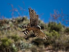 Cinereous Harrier by perubirder