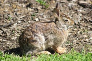 Eastern Cottontail by PeregrineFalconLady