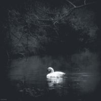 The swan by lostknightkg