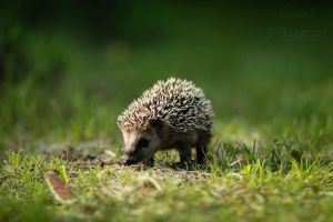 Baby hedgehog by Ellieeh