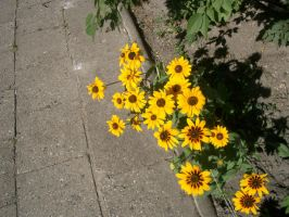 Yellow flower 8 by ShiStock