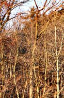 Woodland Trees at Sunset by Maggiesdaisy