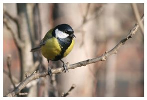 Great tit by Malgorzata-Skibinska