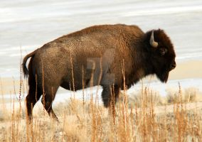 Bison - Antelope Island by houstonryan