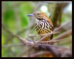 A Brown Thrasher by wylf