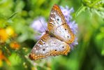 White Peacock Butterfly  by Monkeystyle3000