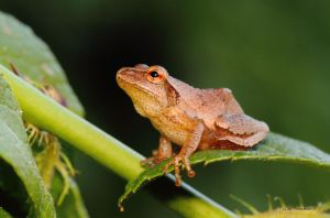 Tree Frog II by natureguy