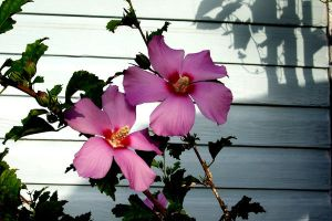 Rose of Sharon in the Morning by Bluegalleon