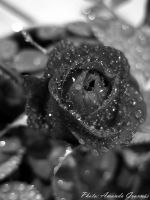Water on rose by AmandaGruvnas97