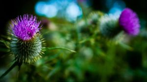 Thistle I 2560x1440 by lostmessenger