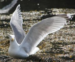 Seagull 2 by Chance-STOCK