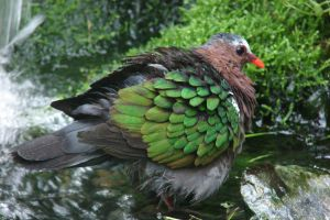 Texel: Bathing Emerald Dove by Lot1rthylacine