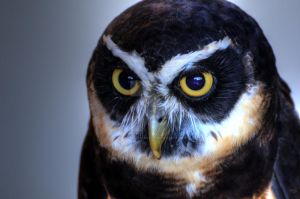 Spectacled Owl by JonathanHasenfus