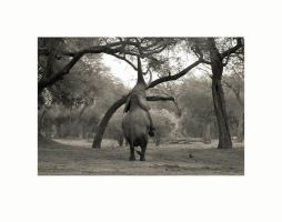 STANDING ELEPHANT by africanimages