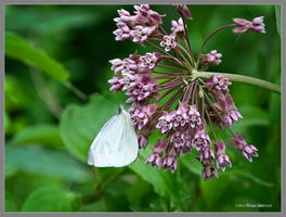 White butterfly on milkweed by Mogrianne