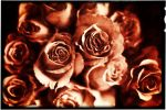 Rose Colored Roses by GlenRoberson
