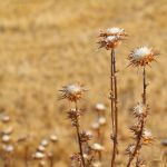 Dried milk thistle flowers by Jorapache