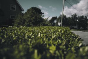 Hedge by Quaney
