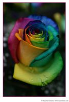 Happy Roses 1 by MarjoleinART-Photos