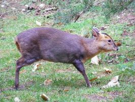 muntjac by Jack-In-The-Green