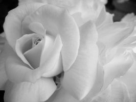 The Beast's White Rose by pettitfraise
