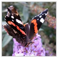 Red Admiral by IsaFortyThirty1