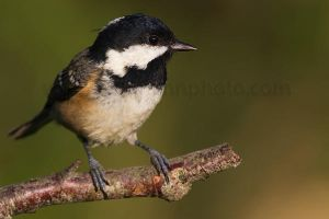 Another Coal Tit by joeelway